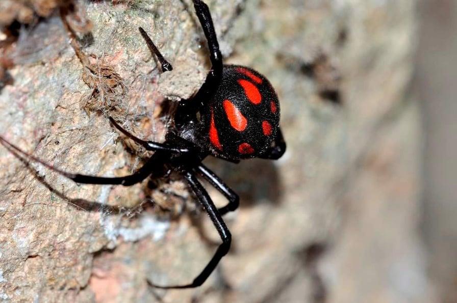 Ragni, vedova nera di profilo