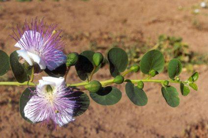 quercitina - particolare di pianta con fiore del cappero