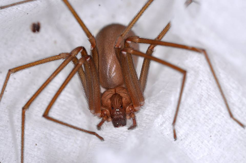 Ragni, un'altra immagine del ragno violino