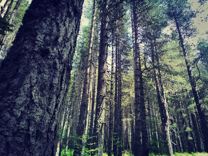 Alberi di pino secolare