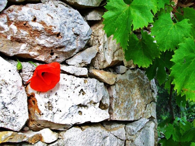 Un papavero tra i muri a secco