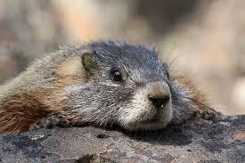 Una marmotta dei Fanes