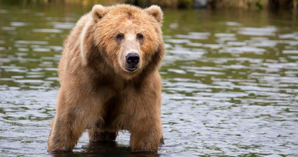 Orsara - Nella foto un maschio adulto dell'Orso italiano.