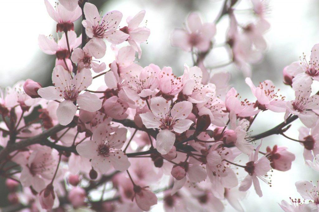 Hanami - ramo di fior di loto
