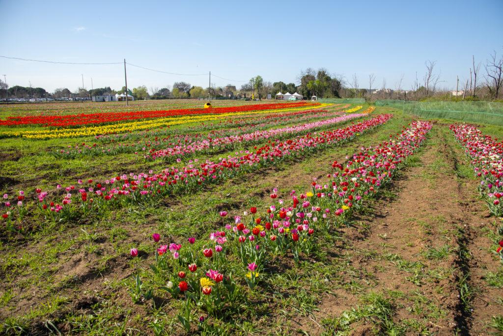 tulipark - campo con tulipani di diverso colore