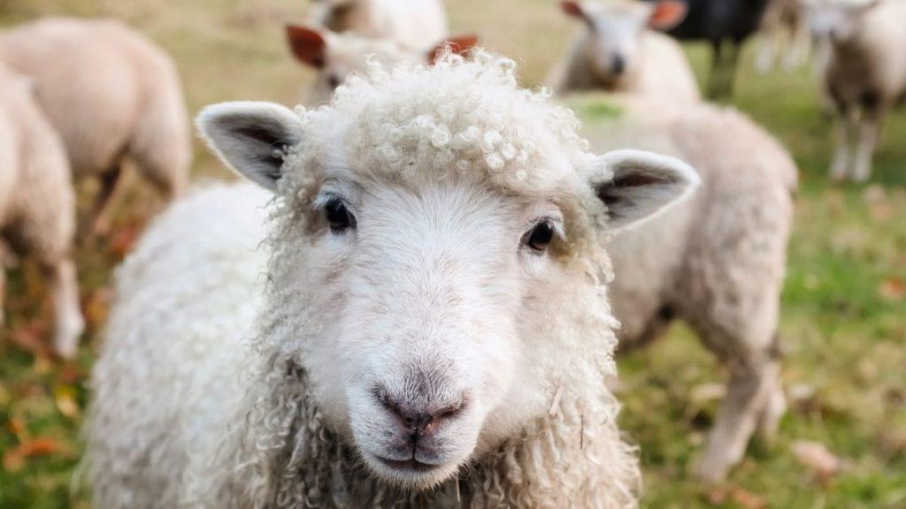Essere Animali - primo piano di una pecora