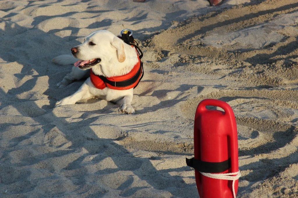 Scuola Italiana Cani Salvataggio - Labrador bagnino in spiaggia