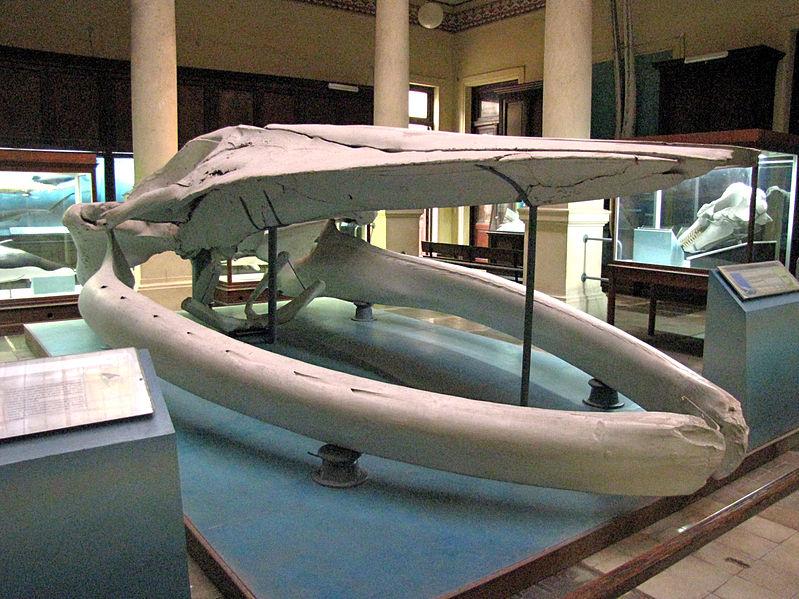 museo - Craneo de una ballena azul