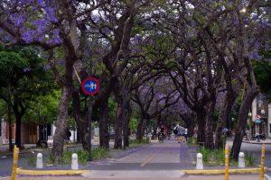 La Plata - Jacaranda