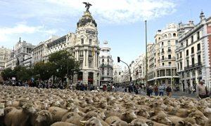 Migliaia Di Pecore E Capre Per Le Vie Della Città è La Giornata Della Transumanza Madrid Secreto