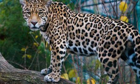 animal - Yaguarete Posando