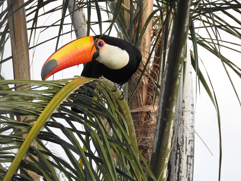 Aves - Ramphastos toco