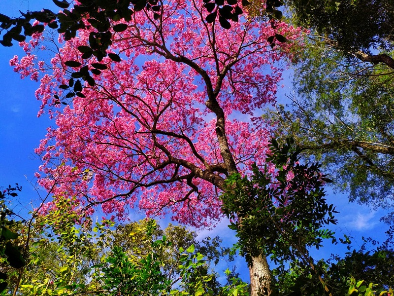 lapacho - flores