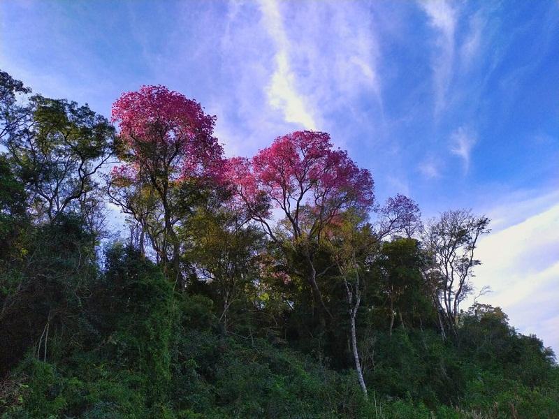 lapacho -selva