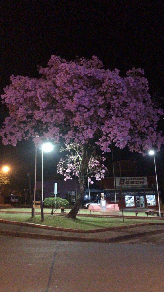 lapacho -noche