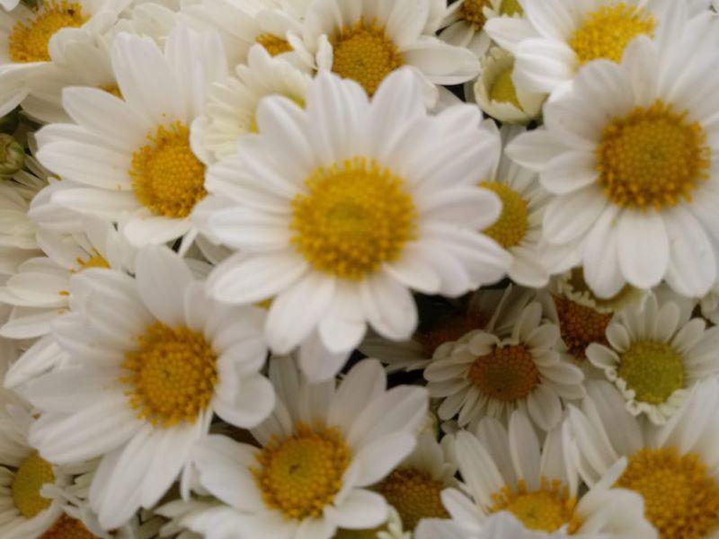 margarita - Crisantemo Blanco