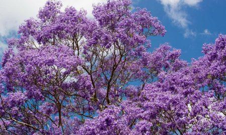 Primavera - Jacaranda Arbol