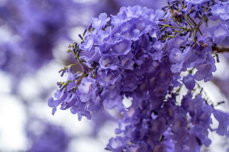 Primavera - Jacaranda