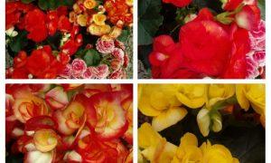 primavera en Misiones - Begonias Varias