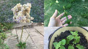 Hierbas y yuyos - Varias Plantas