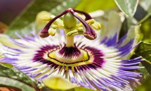 Mburucuyá - Flor De Mburucuya