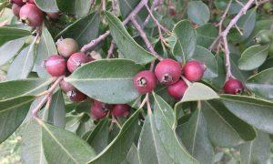 Arazá - Hojas Y Frutos De Araza