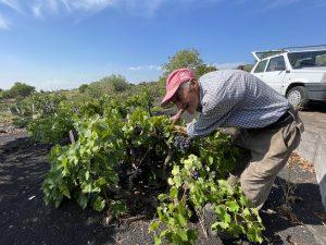 Vendemmia - Vecchietto raccoglie uva