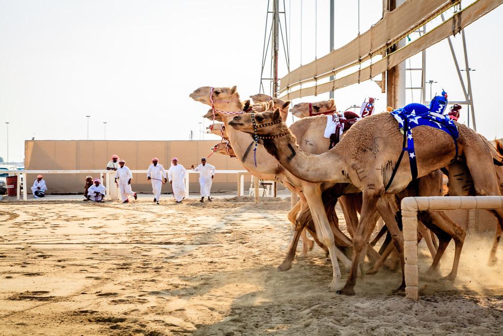 corse dei Cammelli - cammelli pronti per partire
