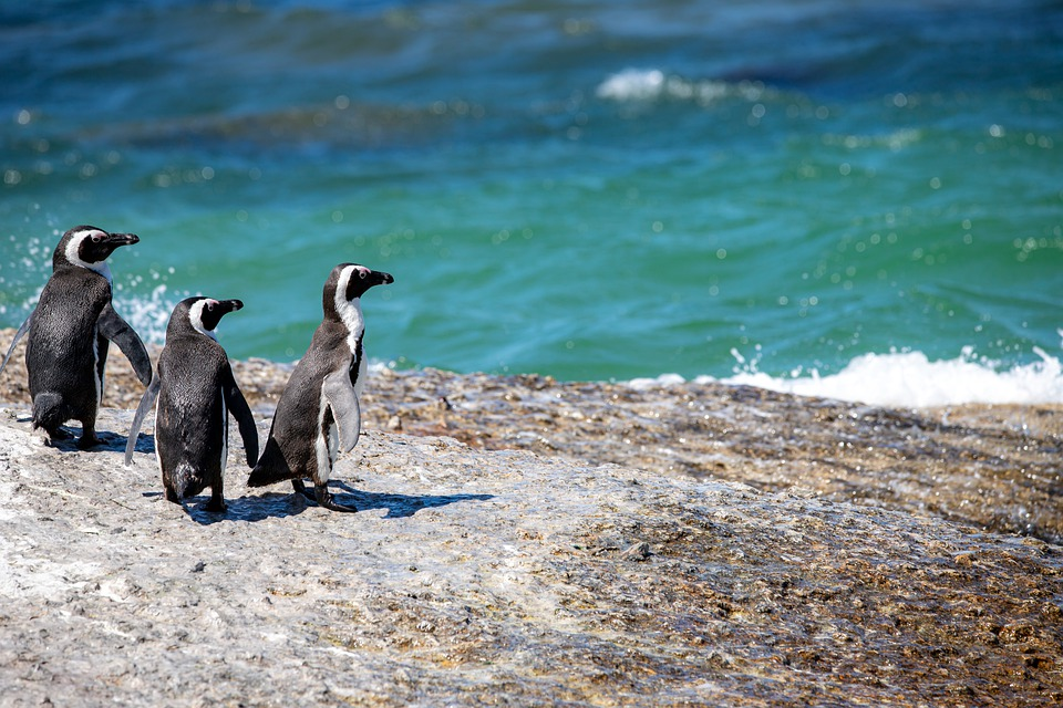 Negro - Pingüinos