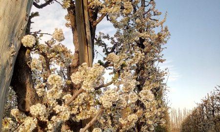 Floración - Flor de pera