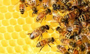 miel - abejas polen