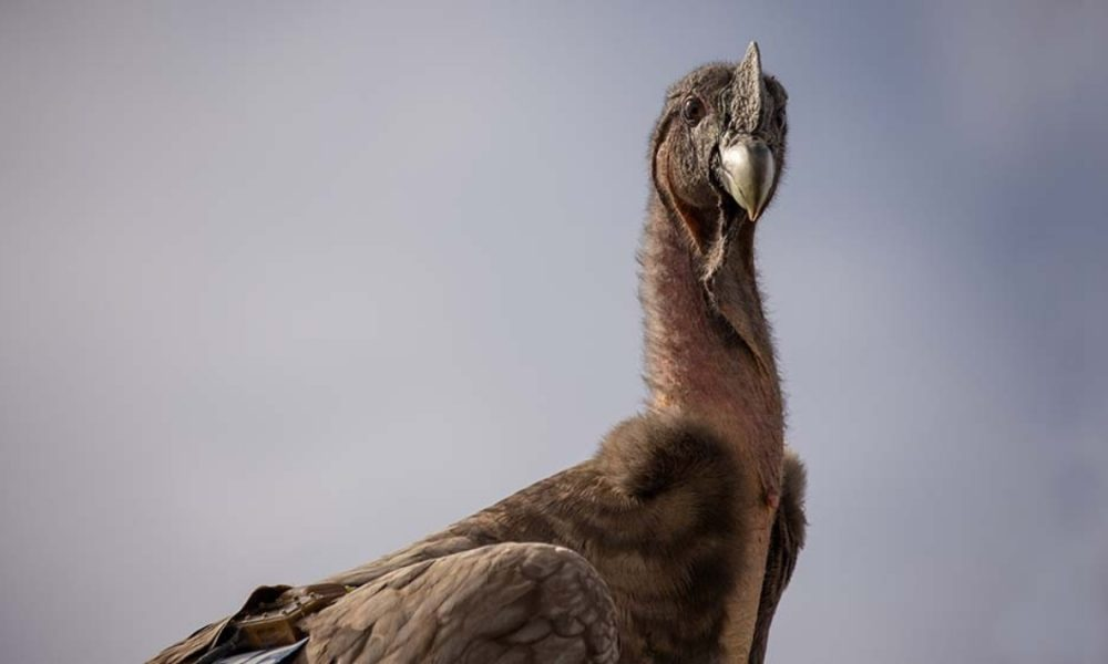 condor andino - ave condor