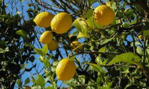 Limones - planta