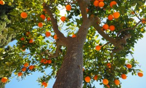 naranjos - Orange Tree