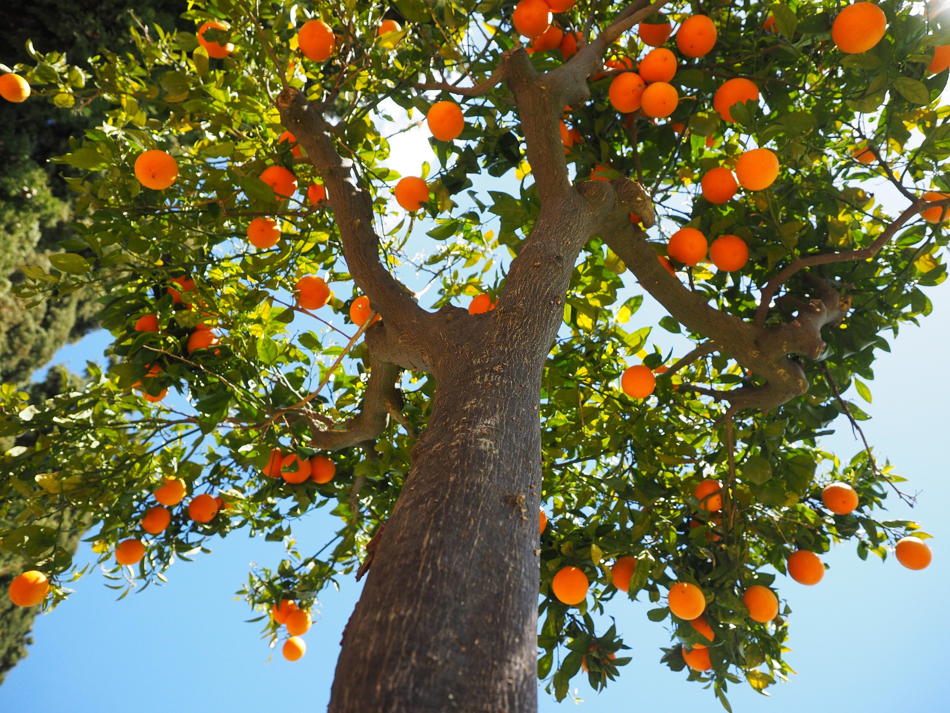naranjos - Orange Tree