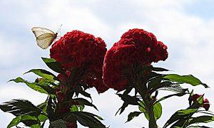 Pirpinto - En Flor Roja