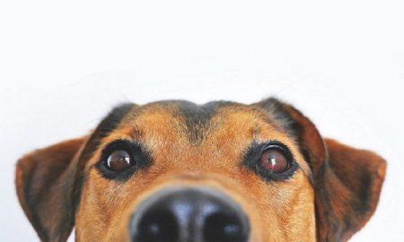 animal - Perro