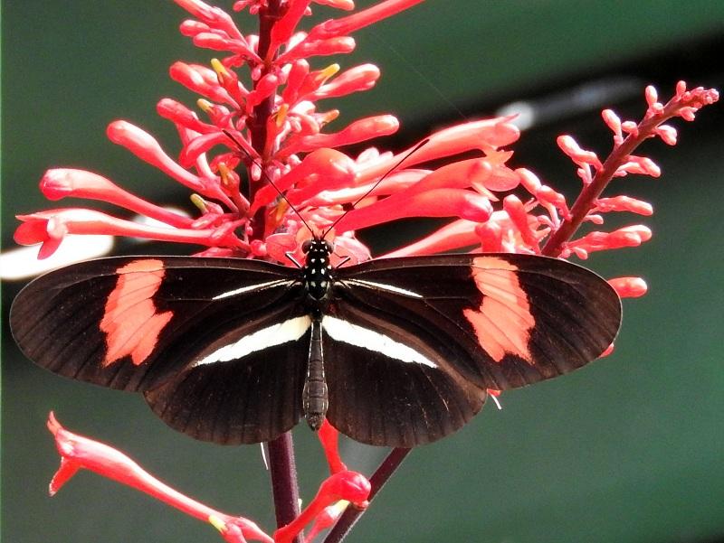 mariposas - Almendra