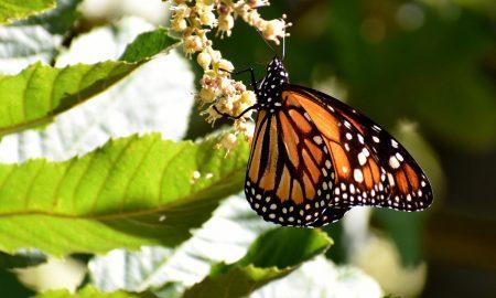 mariposas - Monarca