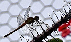 biodiversidad - Libelula Tucuman