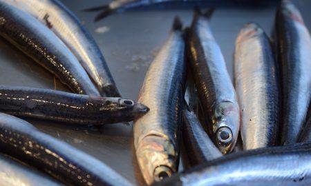 Anjiova: le acciughe appena pescate- Foto: pixabay
